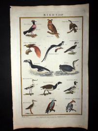 Royal Cyclopaedia C1790 Hand Col Print. Birds 34 Bird of Paradise, Owl, Penguin